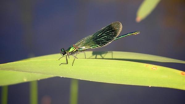 Als typische Fließgewässerart ist die Gebänderte Prachtlibelle auf Industriebrachen nur als Gast einzustufen und zählt nicht zum typischen Artenspektrum.