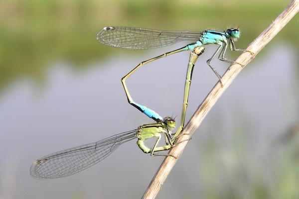 Sie ist die häufigste Kleinlibelle und ist an sämtlichen Gewässern anzutreffen. Bei schlechter Witterung war sie oftmals die einzige aktive Libellenart. Allerdings lagen nur von zwei Dritteln der untersuchten Gewässer sichere Entwicklungsnachweise vor – weniger als bei der ähnlich häufigen Großen Heidelibelle (Sympetrum striolatum).