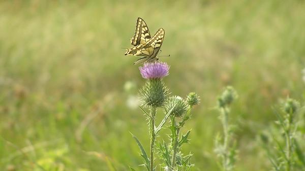 Arten- und blütenreiche Ruderalfluren bieten auch ideale Lebensräume für Schmetterlinge