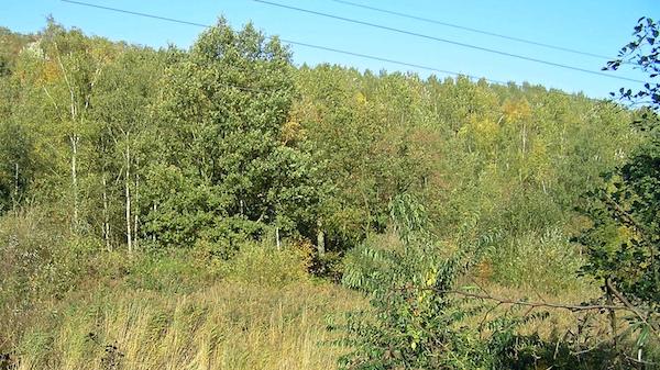 Mehrere Jahrzehnte alter Wald auf der Halde Großes Holz