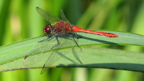 Die allgemein häufig auftretende Libellenart kommt auch auf Industriebrachen regelmäßig vor. Sie besiedelt verschiedene Gewässertypen und besiedelt auch einige Becken mit gut ausgeprägter Vegetation.