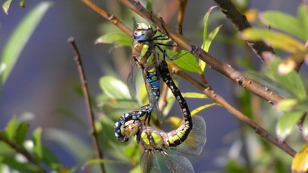 Die Herbst-Mosaikjungfer zählt zu den häufigsten Libellenarten auf Industriebrachen und ist an einer Vielzahl von Gewässern anzutreffen. In vielen Gewässern im mittleren bis späten Sukzessionsstadium pflanzt sie sich fort. Auch aus einem Becken der Kokerei Hansa liegen Exuvienfunde vor.