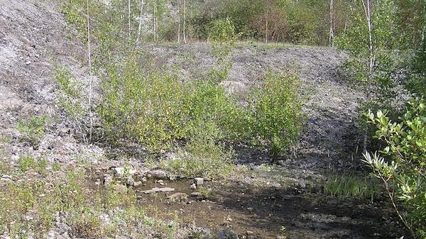 Auch im Pionierstadium können schon Gehölze wie Birken die Brachflächen besiedeln