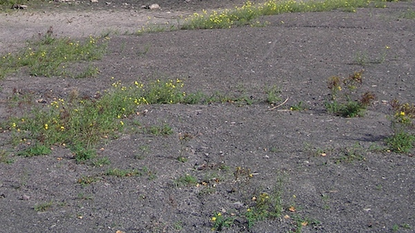 Im Pionierstadium sind die Rohböden nur spärlich bewachsen