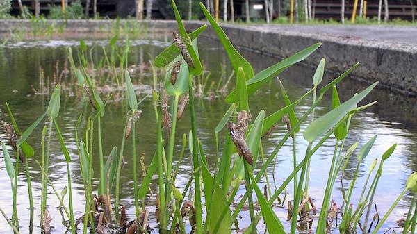 Im vegetationsreichen Klärschlammbecken der Kokerei Hansa schlüpften über 100 Große Königslibellen.