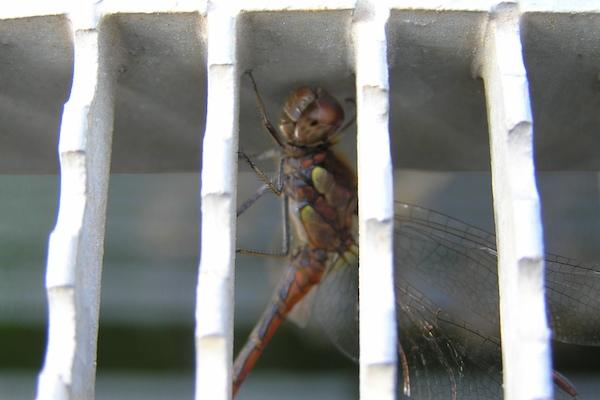 Und manche Gitterstrukturen wirkten als Falle, da die Libellen, einmal hineingeraten, meist von selbst den Ausweg nicht mehr fanden.