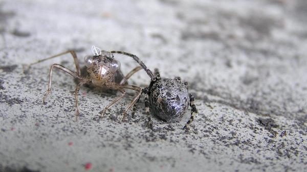 Vor allem zum Zeitpunkt des Schlupfes eine große Gefahr für die in dieser Zeit wehrlose Libelle.