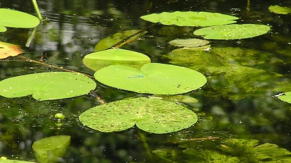 Schwimmblattvegetation in Form von Teich- und Seerosen tritt nur in Einzelfällen auf.