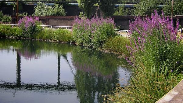 An Gewässern auf ehemaligen Werksgeländen ist die Vegetation oft angepflanzt.